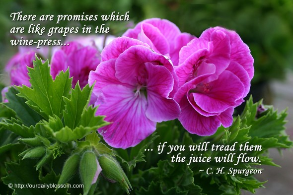 There are promises which are like grapes in the wine-press: if you will tread them the juice will flow. ~ C.H. Spurgeon