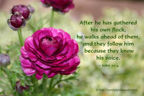 After he has gathered his own flock, he walks ahead of them, and they follow him because they know his voice. ~ John 10:4